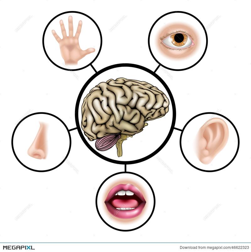 800x803 Five Senses Brain Illustration 46622323