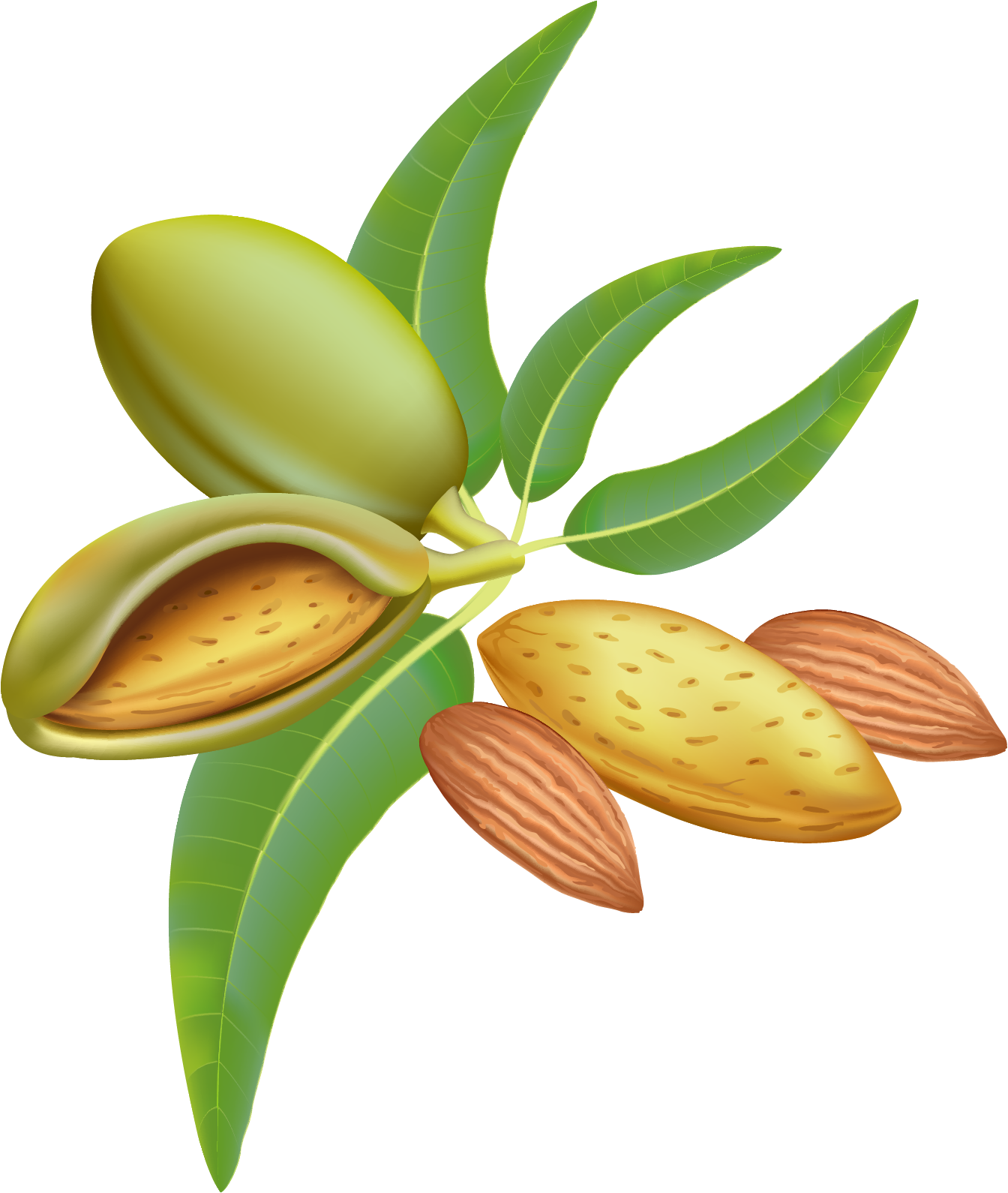 1344x1590 Almond Png Transparent Free Images Png Only