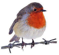 236x221 9 2 10.png Robin Robins, Robin Redbreast And Bird