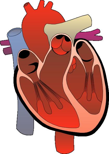 420x595 Clipart Heart Medical Diagram Clip Art Free Vector 4vector
