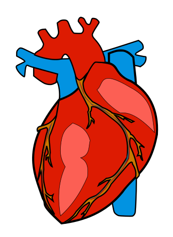 356x488 Anatomical Heart Clipart Many Interesting Cliparts