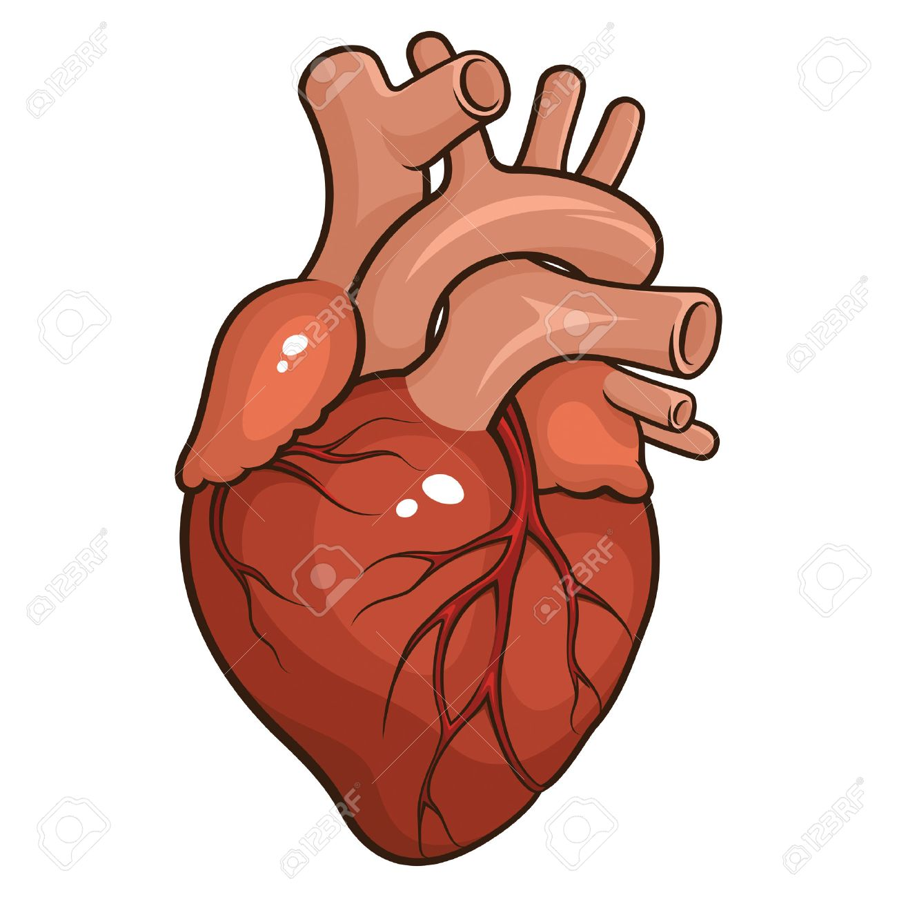1300x1300 Clipart Heart Anatomy Anatomical Human Clip Art Photo