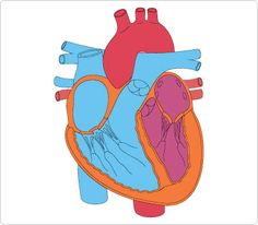 236x206 Heart Body Cliparts