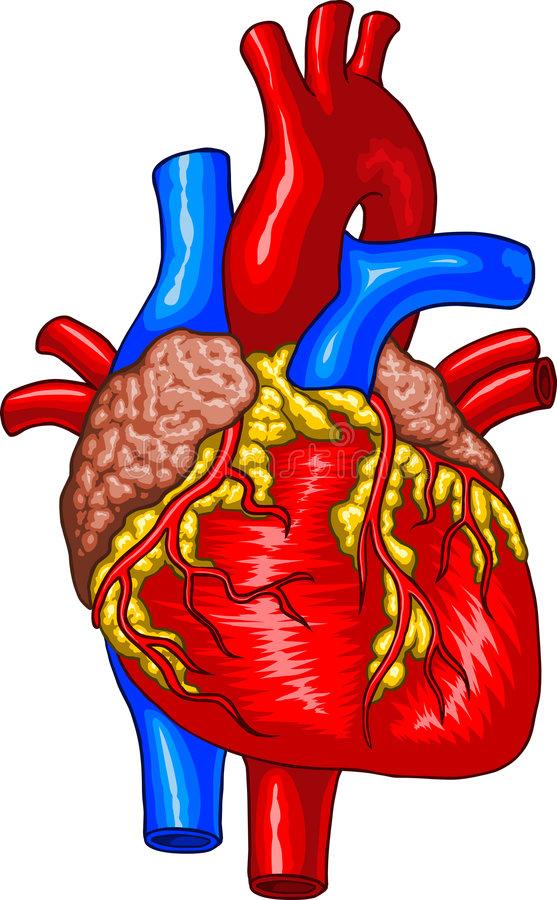 557x900 Human Heart Clipart