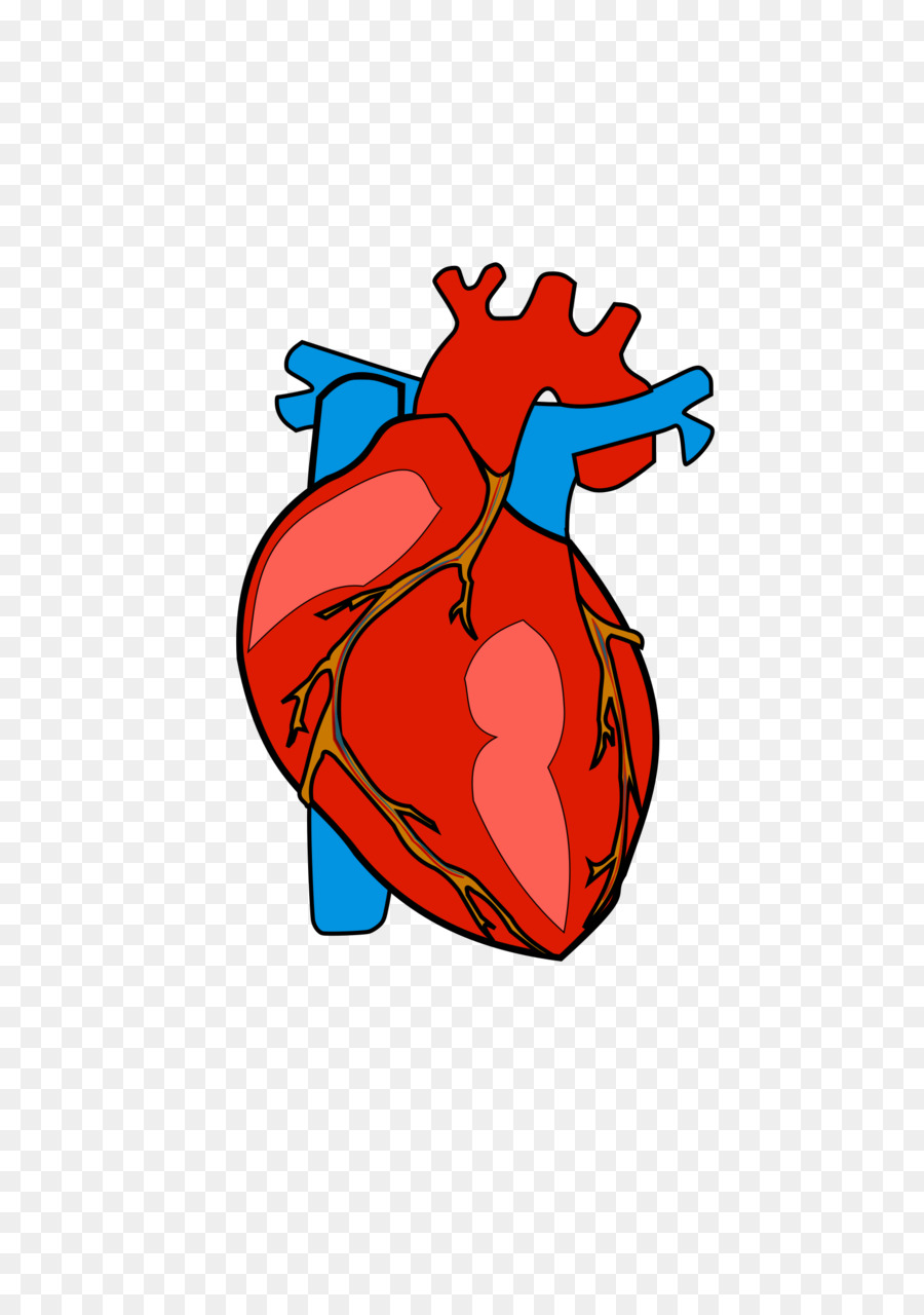 900x1280 Heart Anatomy Clip Art