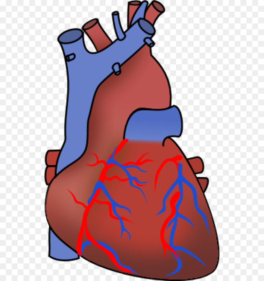 900x960 Heart Organ Anatomy Clip Art
