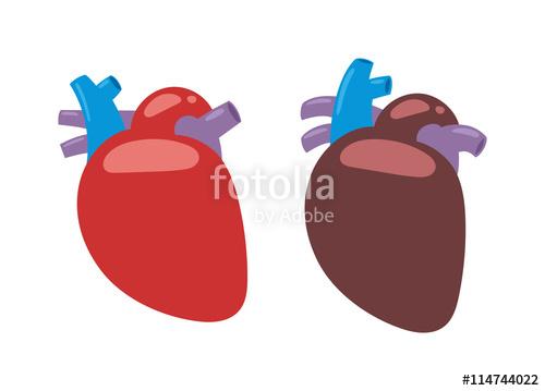 500x359 Human Heart Anatomy Isolated On White Vector Illustration. Anatomy