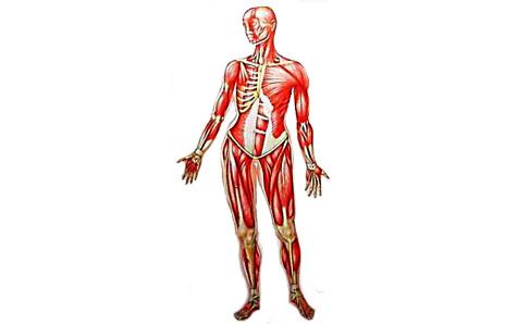 464x298 Anatomy Clipart Body System