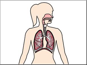 304x229 Clip Art Human Anatomy Respiratory System Color Blank I Abcteach