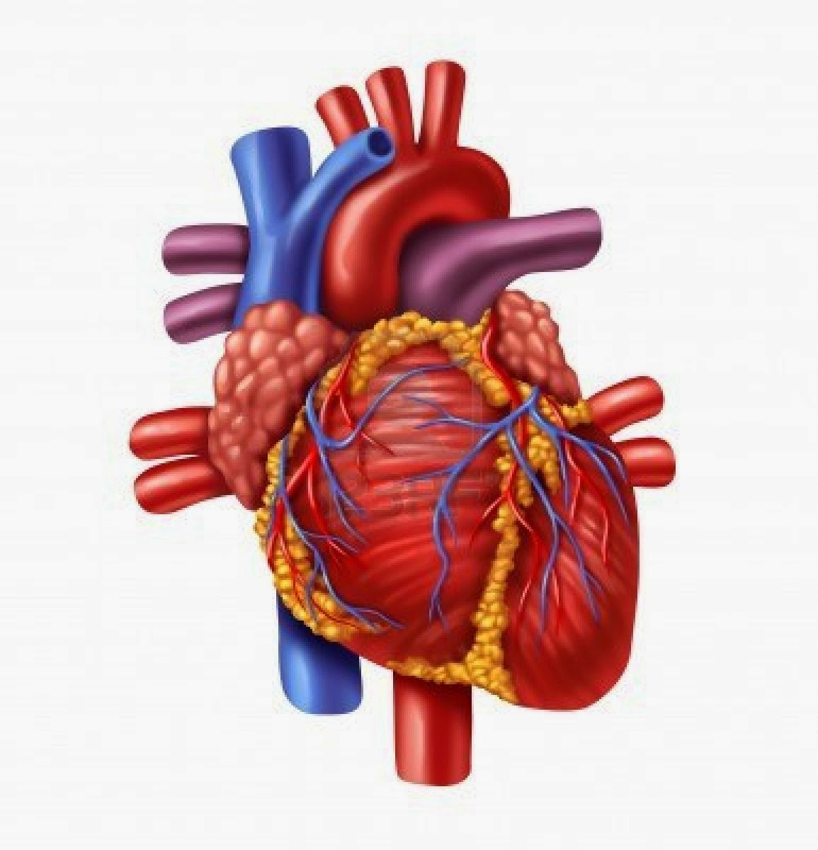 1155x1200 Diagram Of Heart Of Human Being Heart Human Free Download Clip