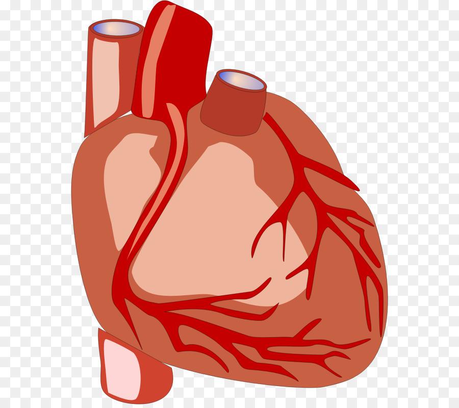 900x800 Heart Anatomy Human Body Organ Clip Art