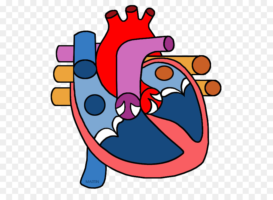 900x660 Heart Anatomy Organ Clip Art