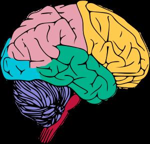 300x288 Human Brain Clipart Free To Use Public Domain Brain Clip Art