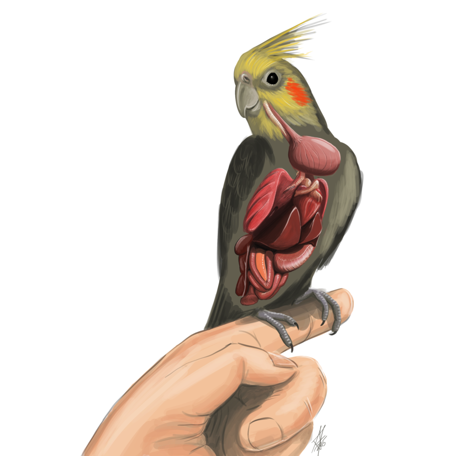 894x894 Anatomy Of A Cockatiel Bird