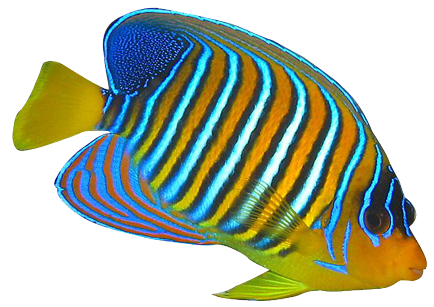 434x307 Angel Fish Clip Art