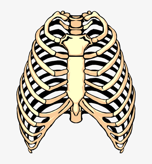 510x552 Thoracic Skeleton, Chest Bone, Sternum, Drawing Drawing Png Image