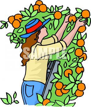 297x350 Woman Picking Oranges