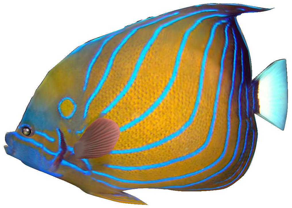 1018x726 Clipart Fish Free Tropical