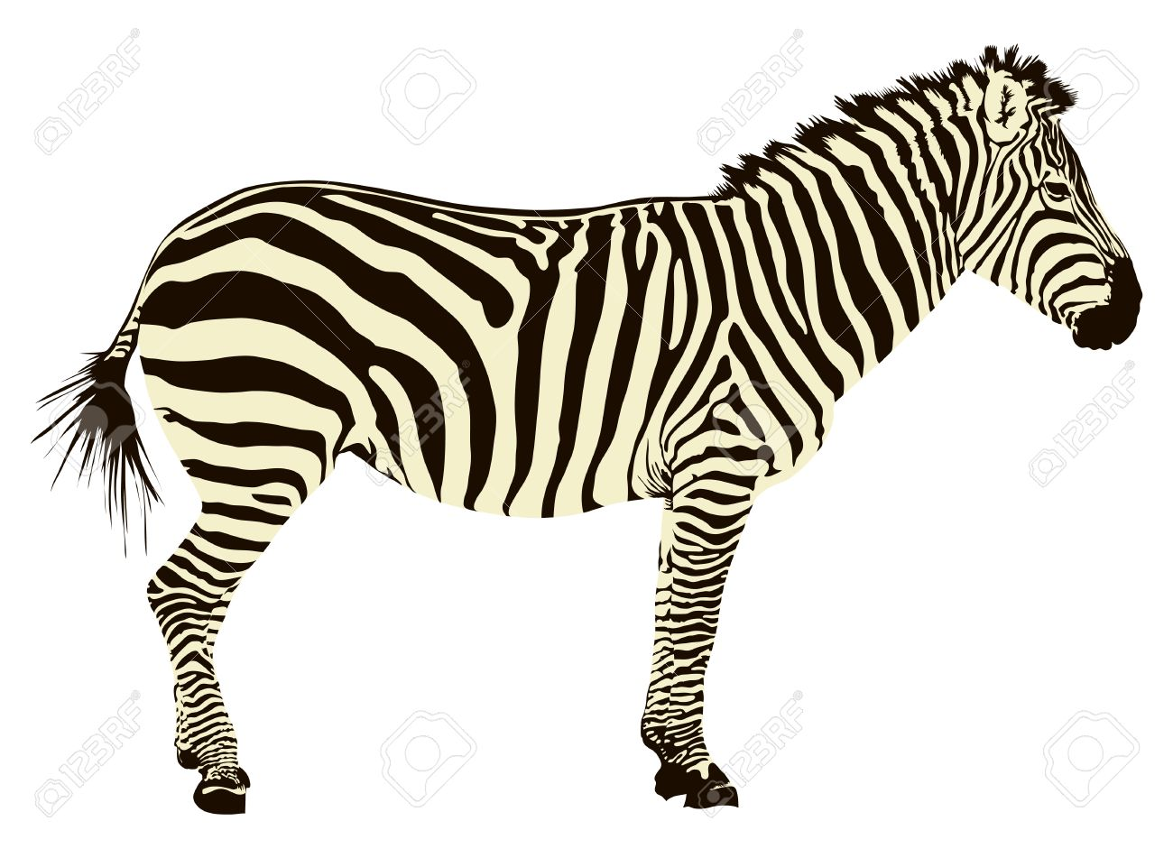 1300x951 Zebra Color Clipart