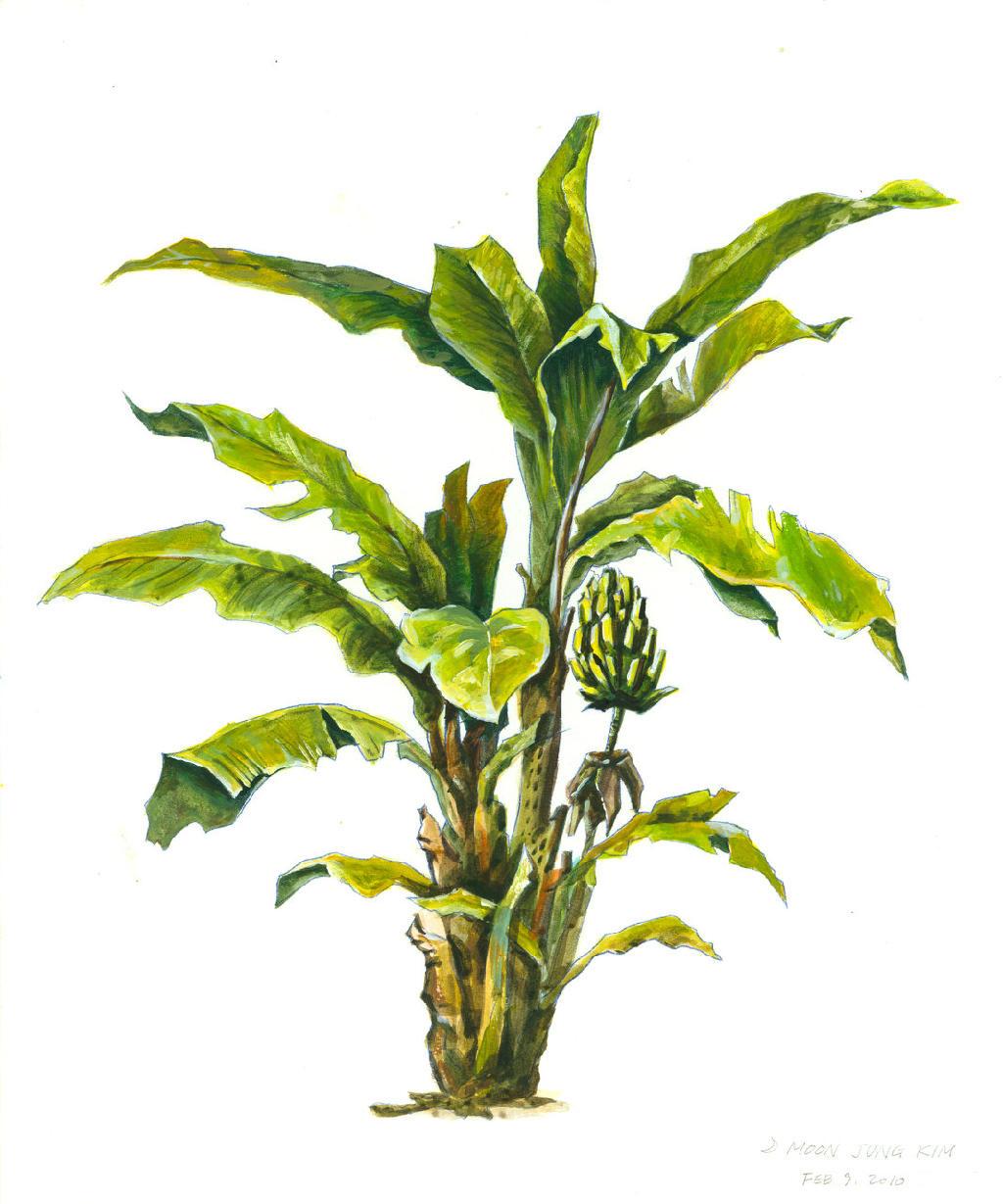 1024x1229 Banana Tree Pencil Drawing 3 How To Draw A Banana Tree