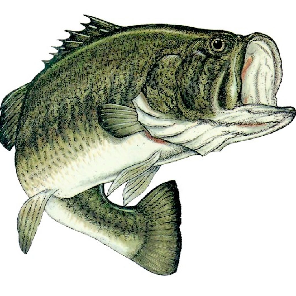 1024x1024 Largemouth Bass Drawing School Clipart