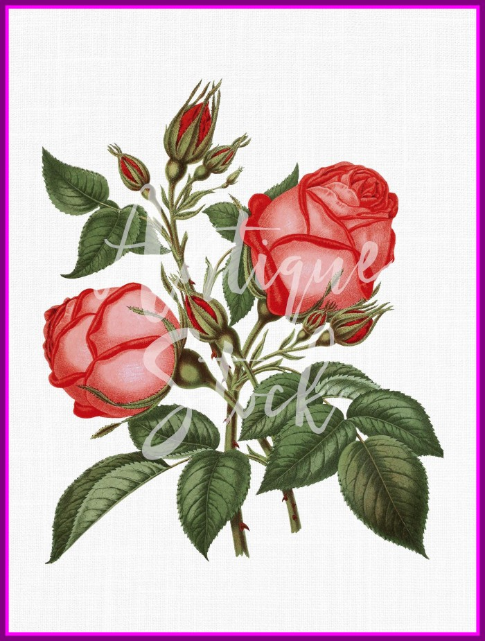 700x925 Fascinating Rose Flower Clip Art Beauty And The Beast Png Picture