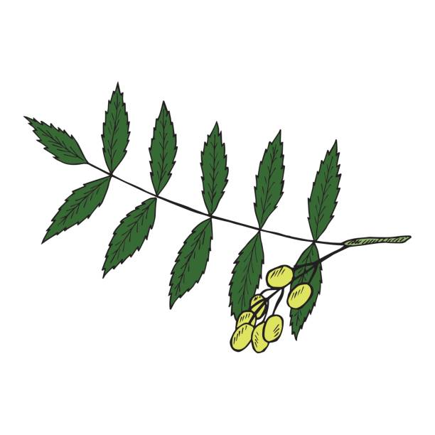612x612 Neem Tree Clipart Royalty Free Clip Art Vector Images