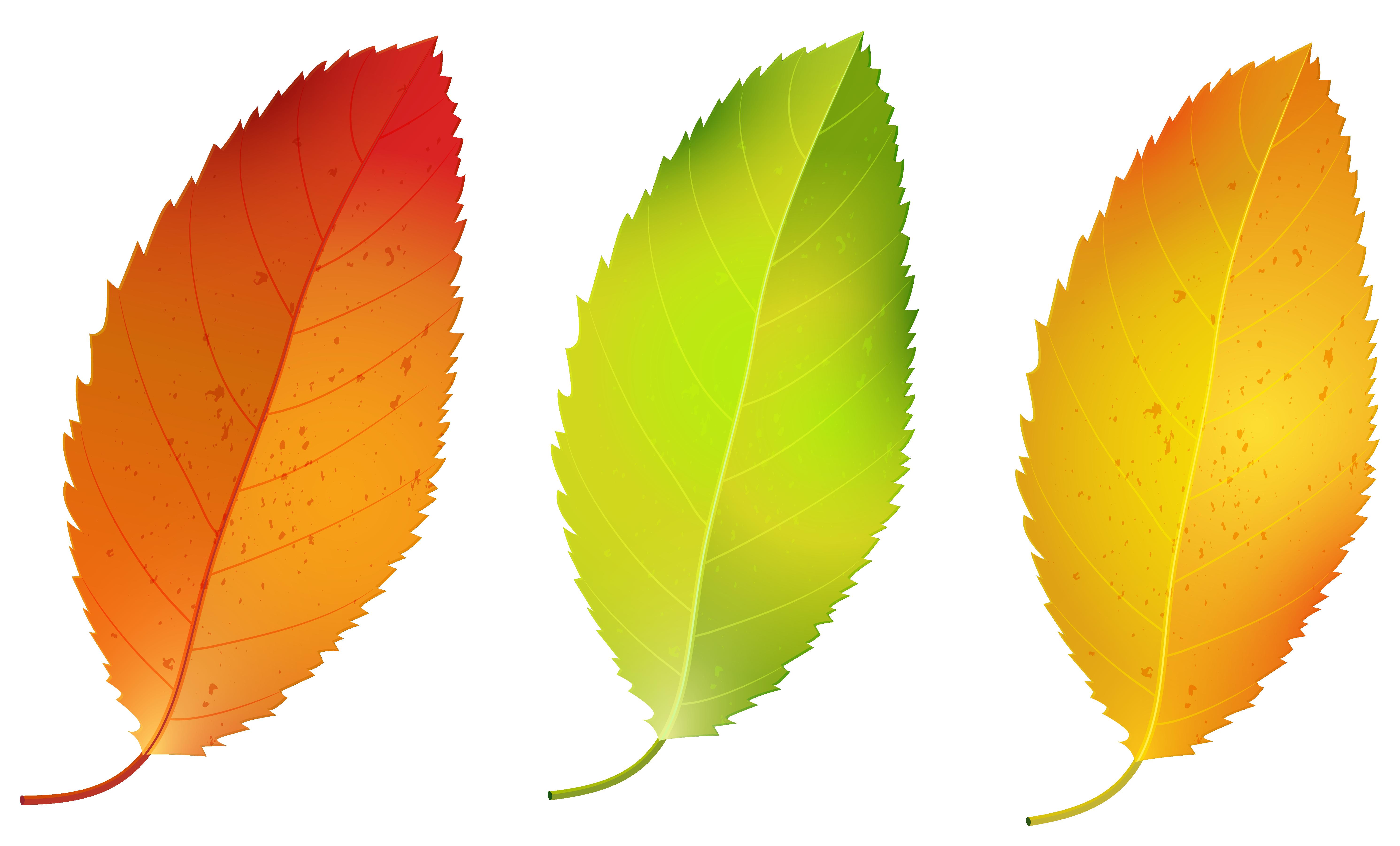 5964x3603 Autumn Leaf Color Birch Clip Art