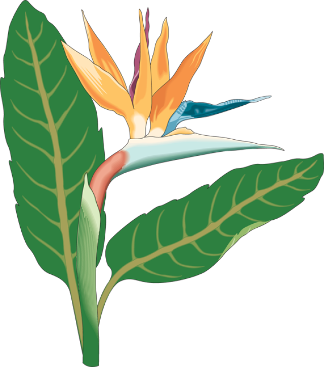 640x725 Birds Of Paradise Clipart Web Design Clip Art And Flowers