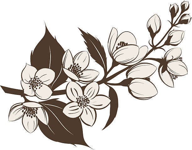 612x479 Collection Of Jasmine Flower Clipart Black And White High