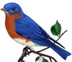 252x219 Bluebird.14.jpg