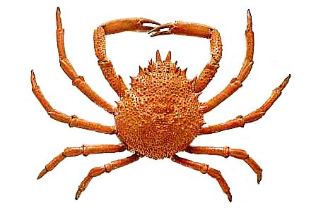 464x298 Free Crab Clipart