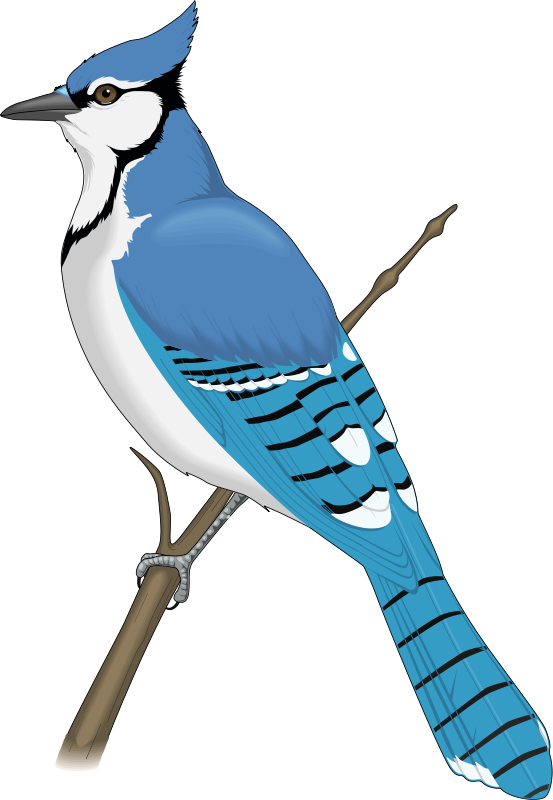 553x800 Jay Clipart Rare Bird