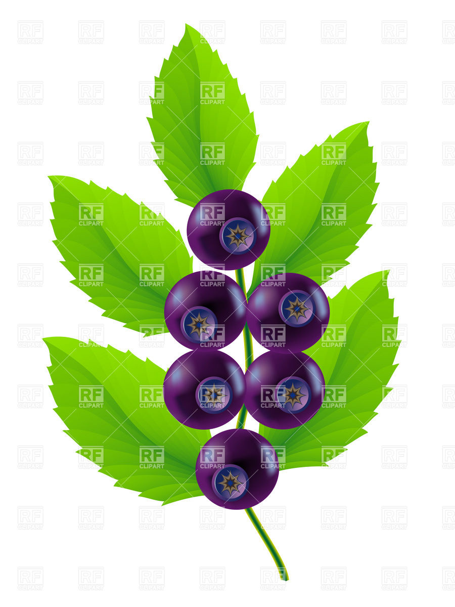 900x1200 Twig Of Blueberries With Leaves Royalty Free Vector Clip Art Image