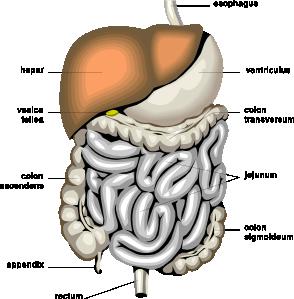 294x299 Digestive Organs Medical Diagram Clip Art Free Vector 4vector