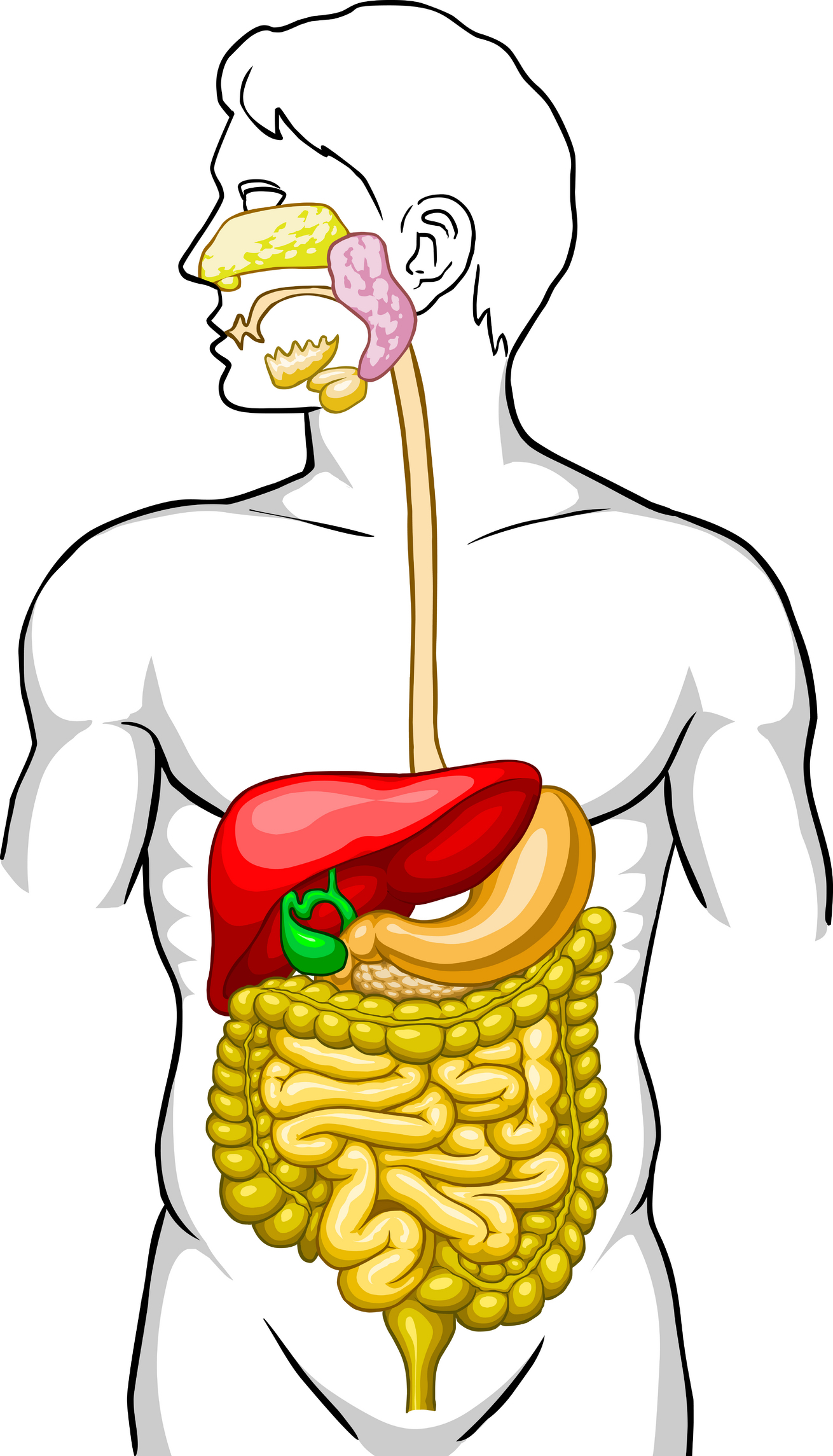 1310x2289 Digestive System Diagram For Kids Without Labels Digestive Clipart