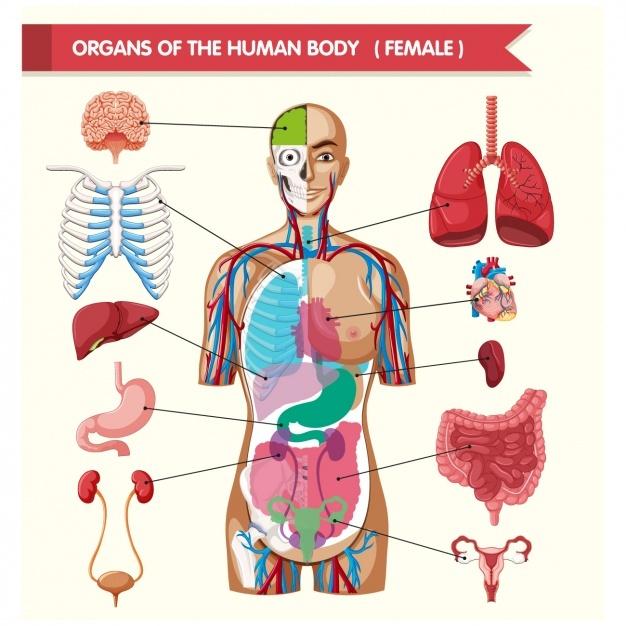 626x626 Human Body Parts Vectors, Photos And Psd Files Free Download