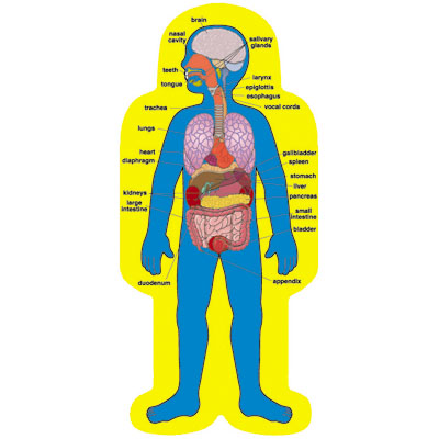 400x400 Collection Of Body Organs Clipart High Quality, Free