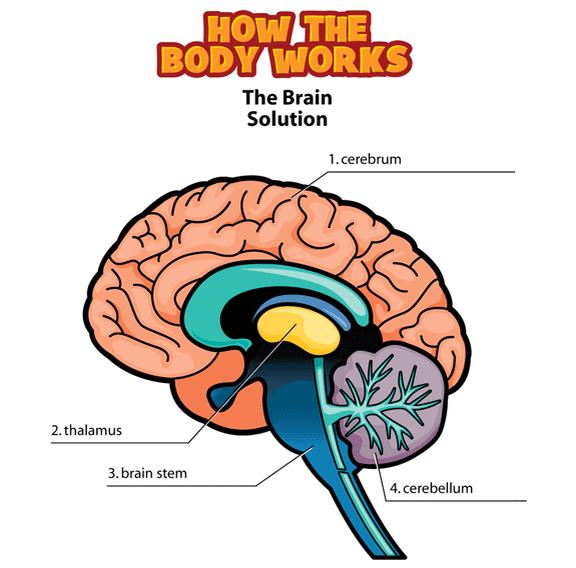 576x568 Brains Clipart Central Nervous System