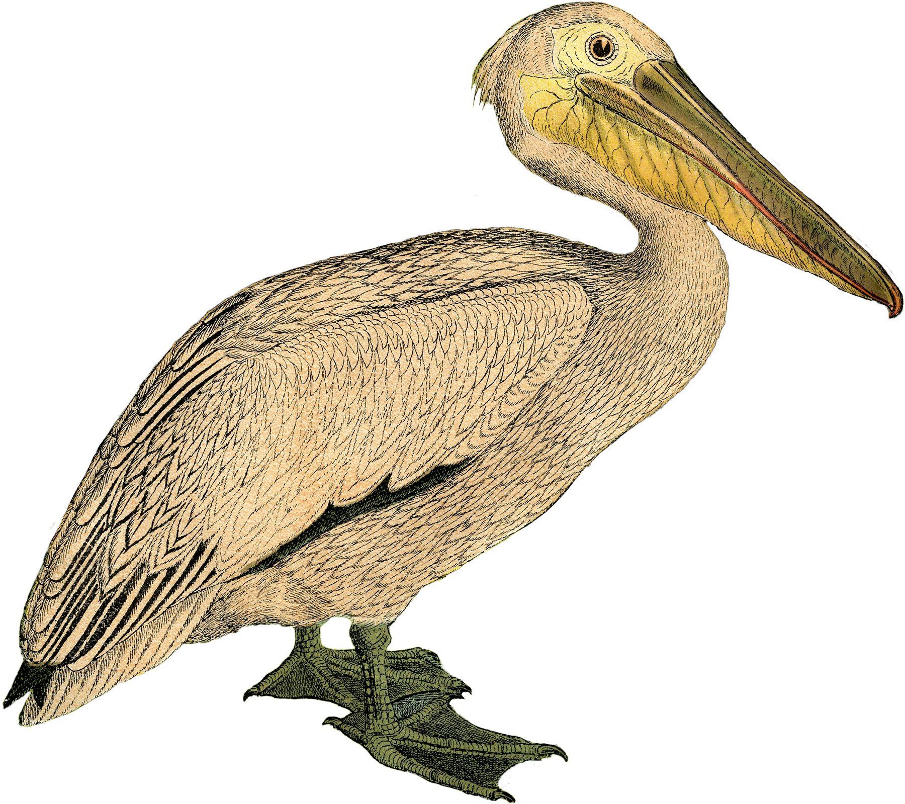 1800x1599 Vintage Pelican Image Vintage, Bird