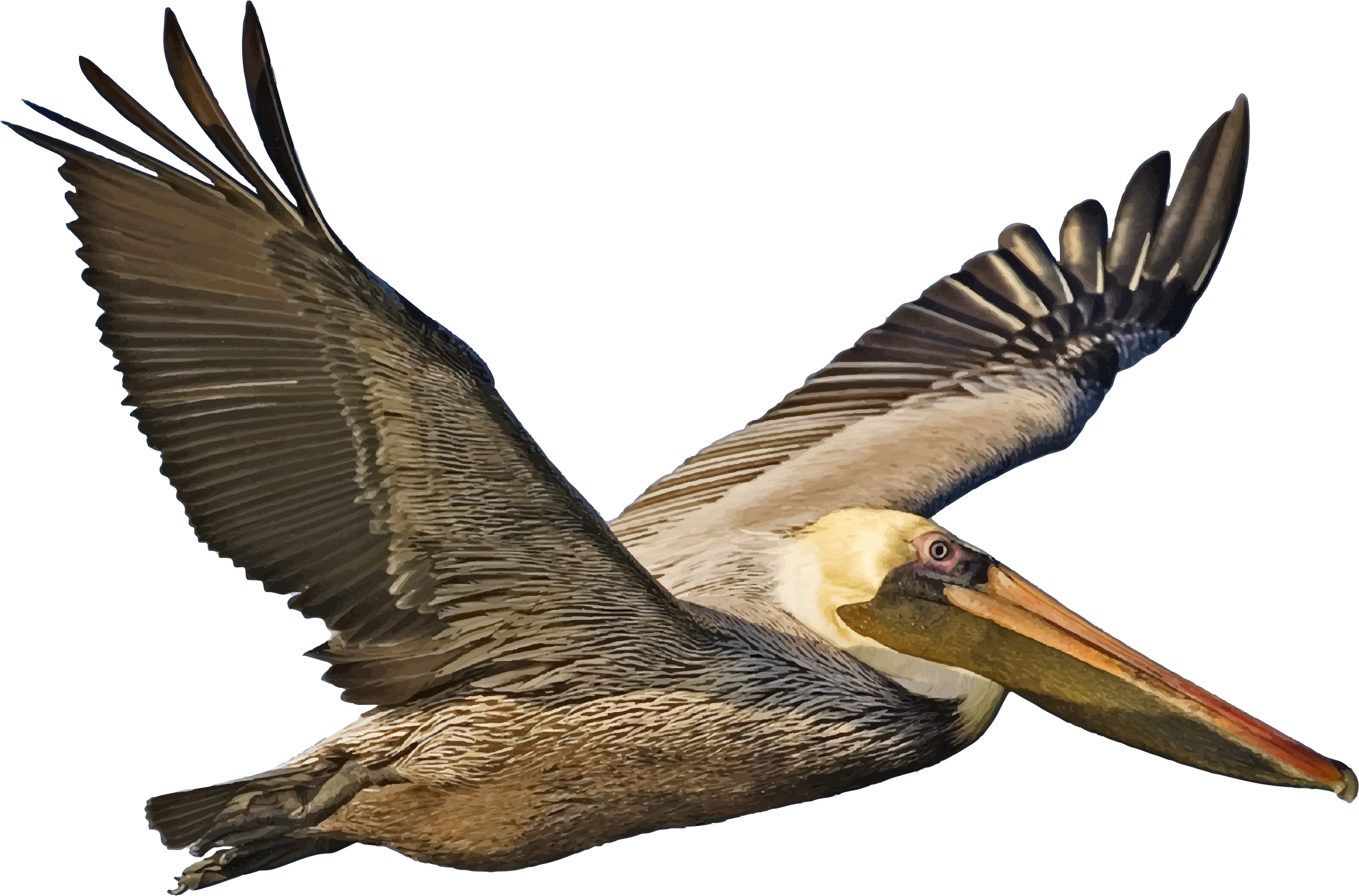 2290x1510 Brown Pelican In Flight Icons Png
