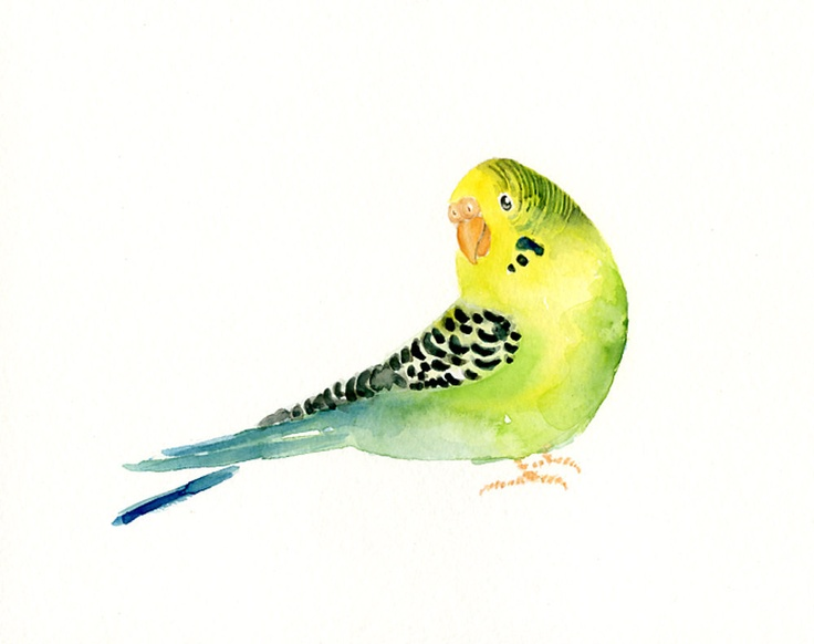 736x582 Budgie Clipart Watercolor