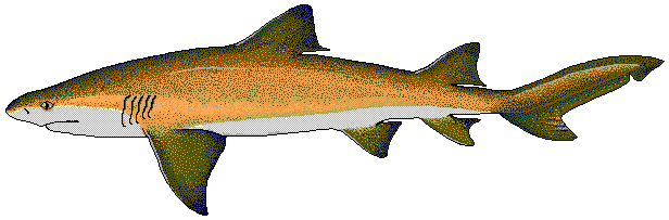 616x203 Shark Clip Art