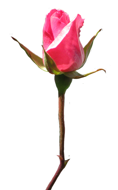 404x650 Rose Clipart