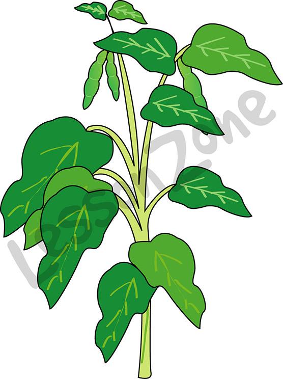 556x744 Bean Plant Clipart Amp Bean Plant Clip Art Images