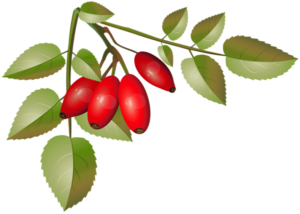 600x429 Brier Bush With Ripe Fruits Branch Png Clip Artu200b Gallery