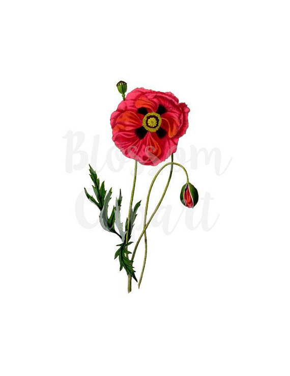 570x738 Vintage Clip Art Poppies Floral Clipart For Digital Artwork