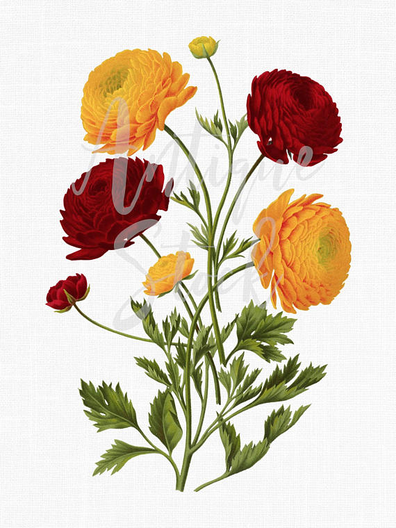 570x760 Botanical Illustration Ranunculus Flowers