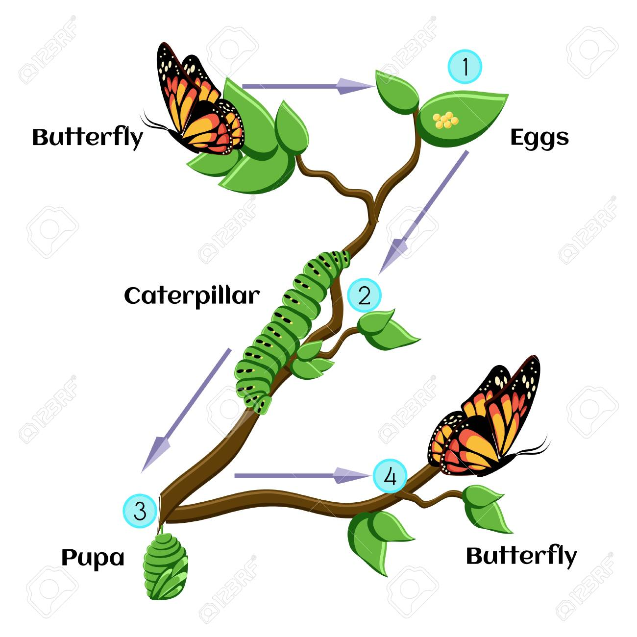 1300x1300 Life Cycle Of A Butterfly Free Clipart Amp Life Cycle Of A Butterfly