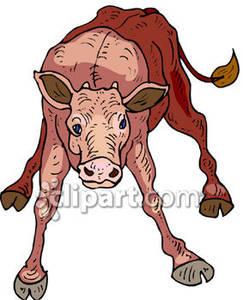 243x300 Brown Newborn Calf